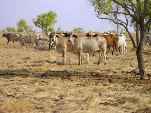 Cette région est peu propice à l'agriculture. Utiliser des vaches pour consommer la végétation présente peu avoir un impact minimal sur l'environnement, et permet d'éviter des terres fertiles pour produire de la viande. Source: CSIRO